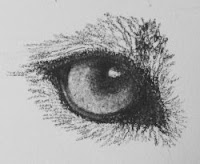 cougar eye drawing