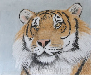 Sumatran tiger tinted charcoal drawing