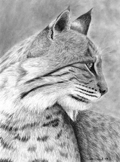 bobcat charcoal drawing