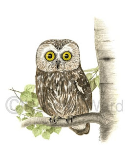 saw-whet owl in color
