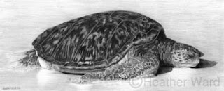 green sea turtle charcoal drawing