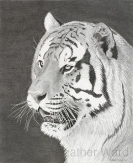 bengal tiger drawing