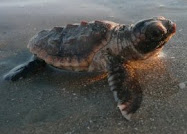 Sea Turtle Baby