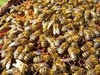 Οι μελισσες......