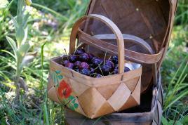 Kirsebær...skal da plukkes i en spånkurv....