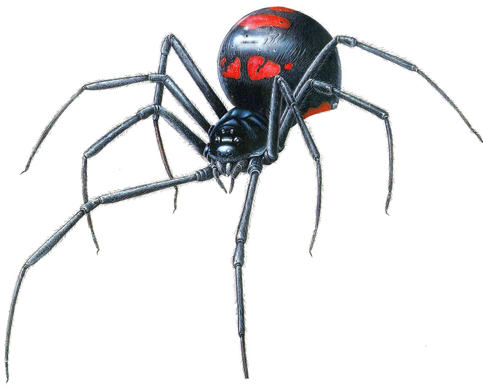 http://2.bp.blogspot.com/_scfe5YzN958/TDrRyLvRtxI/AAAAAAAACBg/UzSfCGuuQ24/s1600/Black+Widow+Spider.jpg