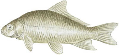 Fish identification smallmouth buffalo ictiobus bubalus for Buffalo fish taste