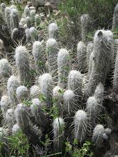 Oreocereus hendriksenianus Backeb. (Cactaceae)