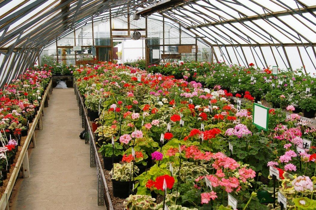 John grimshaw 39 s garden diary pelargoniums at fibrex nurseries for Garden design business