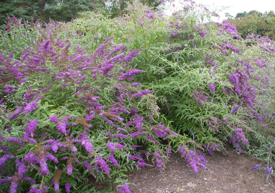 John grimshaw 39 s garden diary woody plant trials at wisley for Arbustos de hoja perenne para jardin