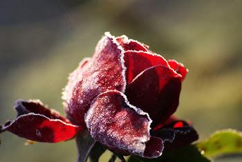 róża w lukrze