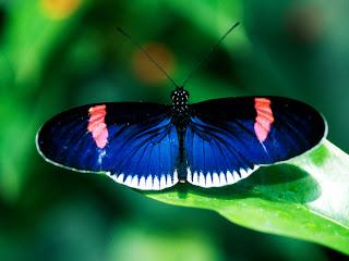 Butterfly Genus Species - Postman