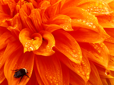 Narandzasta magija Bee-on-Wet+Orange+Dahlia