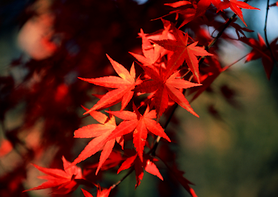 This is a Japanese Maple.