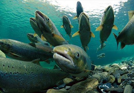 Capturas de salmón en Asturias, Cantabria y Galicia 2010 (11 Julio)