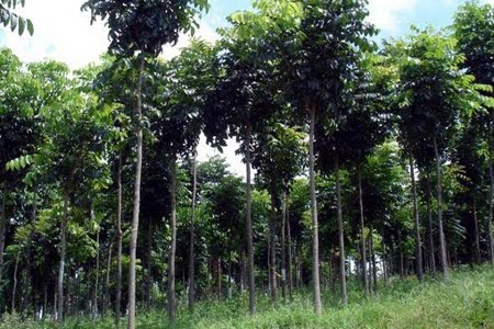 Floresta Estadual do Mogno