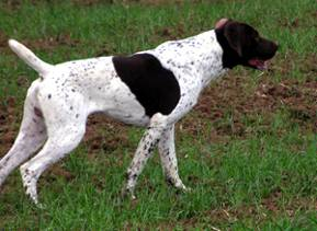 FRENCH POINTING DOG PYRENEAN TYPE