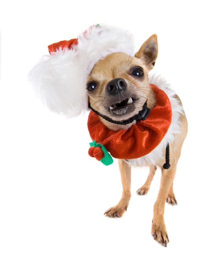 Image Result For Can Chihuahuas Be
