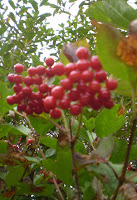 Guilder berries