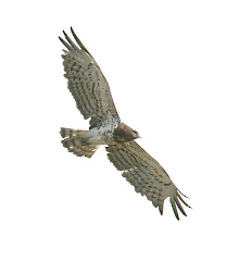 Short-toed Eagle, Karagaac, Turkey, 2009