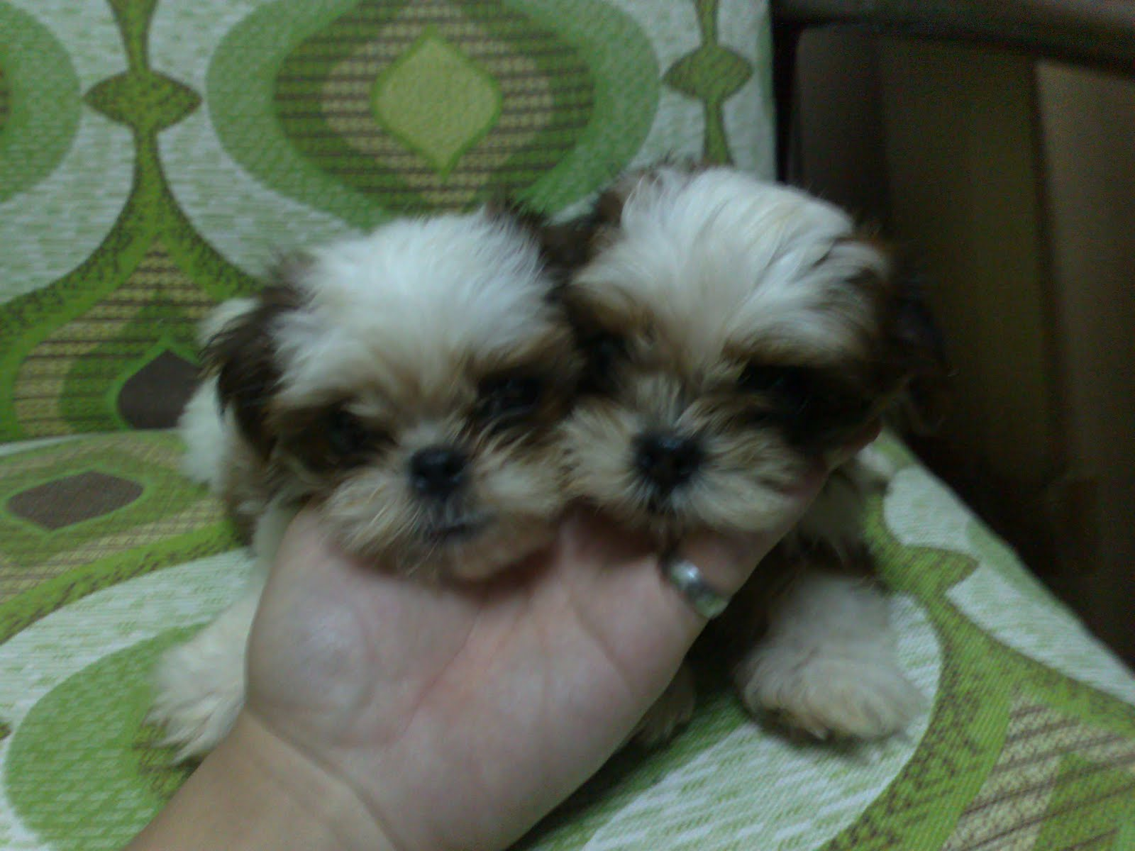 toy shih tzu collection home page