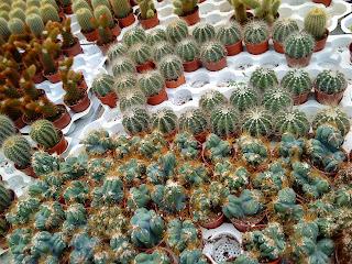Cactus_Picture