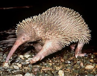 external image echidna_Worlds_strangest_looking_animals-s450x350-2283-580.jpg