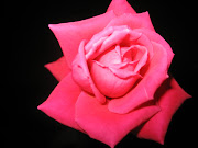 One perfect rose from the hand of my lover (he's not too bad with a camera, either)