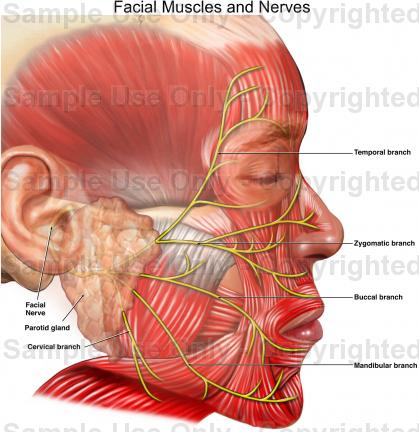 Firm facial muscles