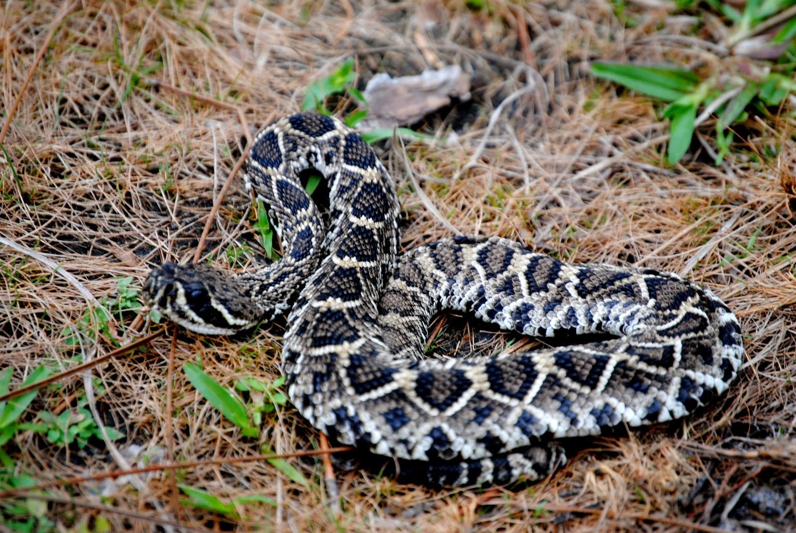Field Notes And Photos  Eastern Diamondback Rattlesnake