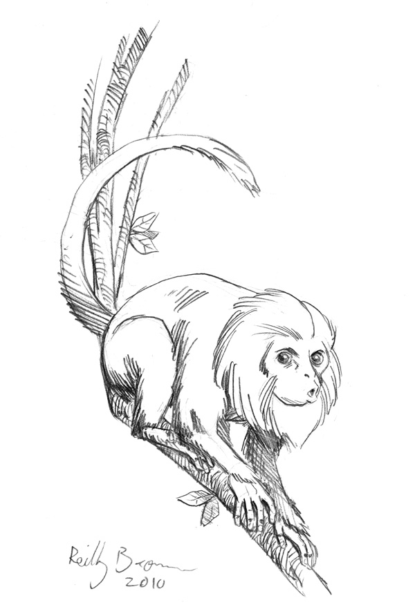 How To Draw Tamarin
