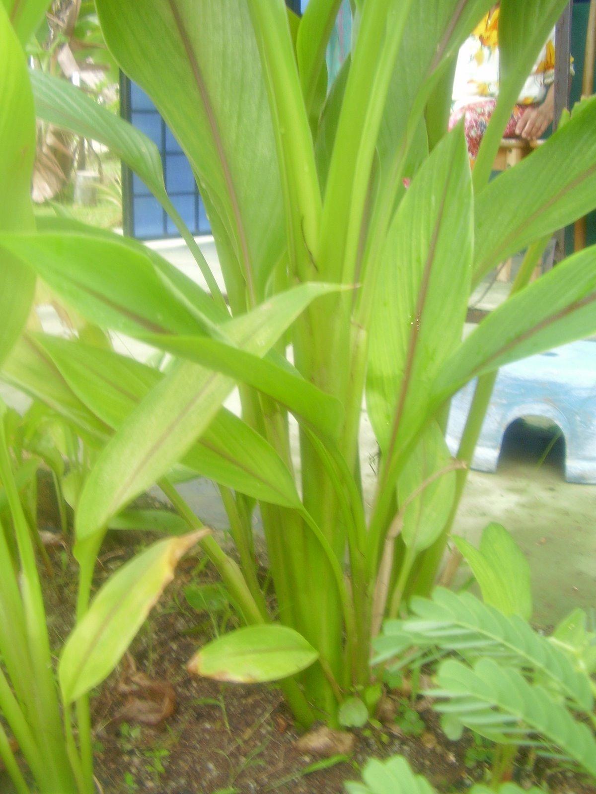 The Miracle From Herbal Life July 2010 Graviola 100 Concentrate Daun Sirsak Usefulness Of Curcuma