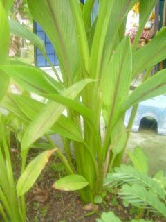 Usefulness of Curcuma curcuma zedoaria Temu Lawak