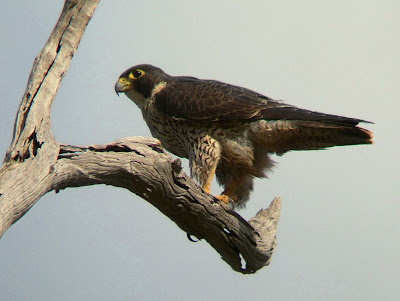 peregrine falcon diving. Peregrine Falcon: Fastest bird