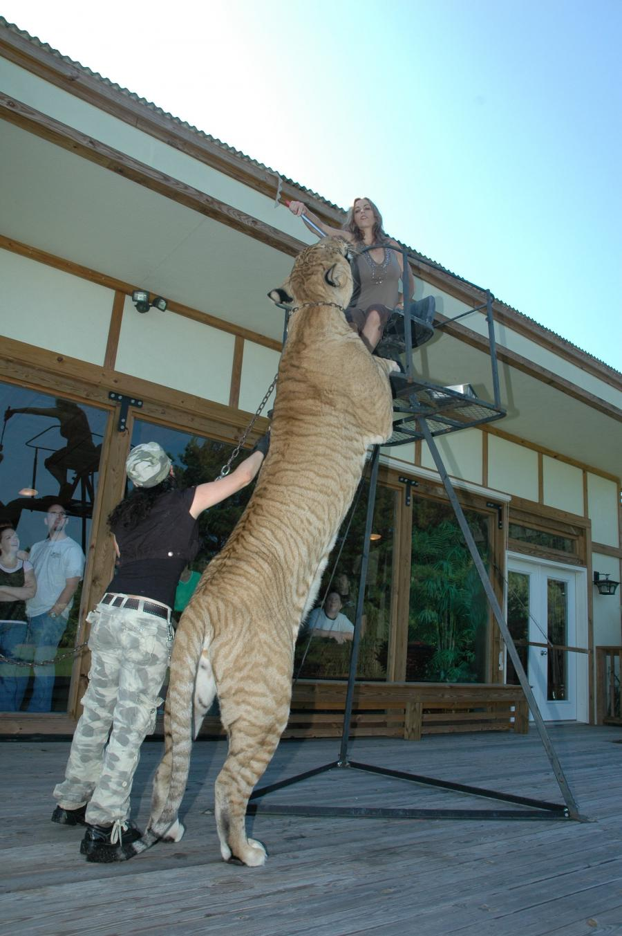 Largest Tiger Ever Rec...