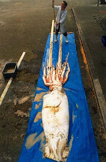 Giant Squid (Architeuthis)image pictures gallery pics