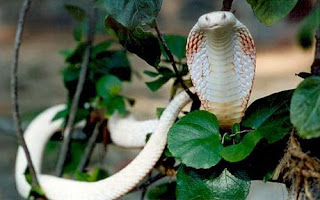 The Albino Cobra's in India pictures images pics photos gallery