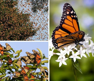 Monarch Butterflies picture photo image gallery in nature phenomena blog