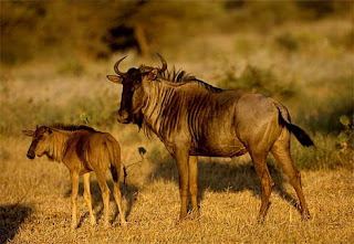 The Great Wildebeest Migration picture image pic photo gallery in nature phenomena blog