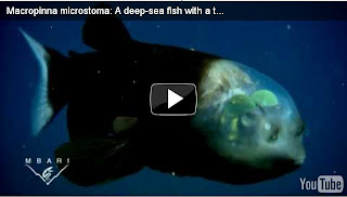 Fish with transparent head in picture pic photo image gallery the phenomena story in the world