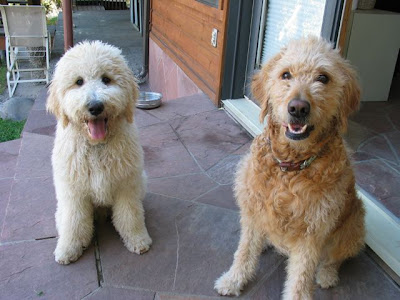 goldendoodle puppies pictures. Goldendoodle Puppies