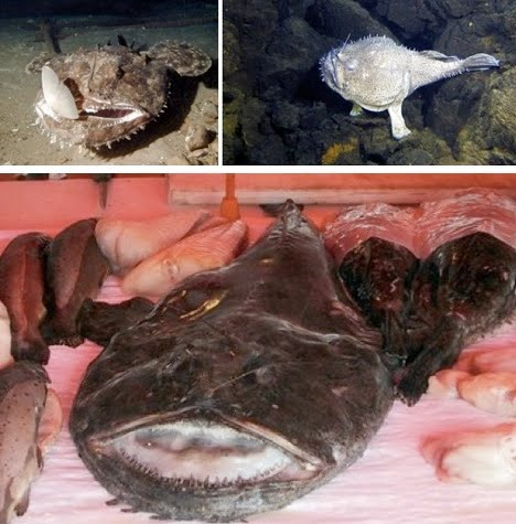Male Angler Fish on Catch A Break The Male Angler Fish Is 1 20th The Size Of The Female