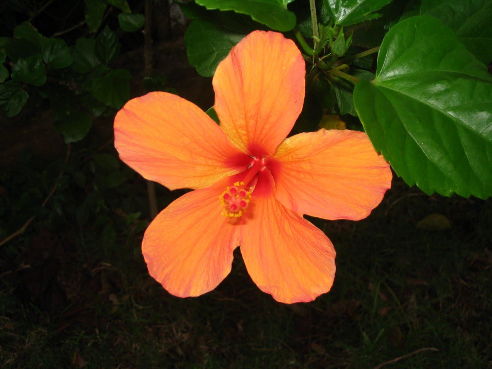 Flores de Puerto Rico Flickr Photo Sharing! - Fotos De Flores De Puerto Rico