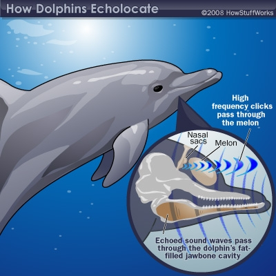 DOLPHIN-FACTS-BLOG: ANATOMY OF A DOLPHIN