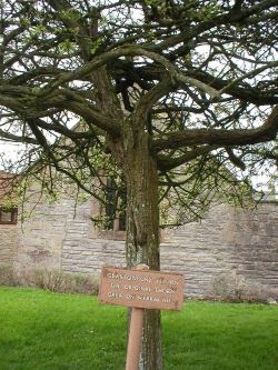 The present thorn tree in the grounds of Glastonbury Abbey