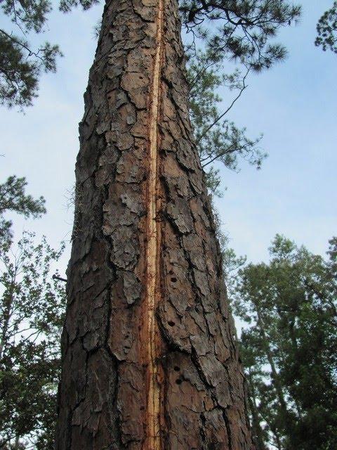The Lightning Tree IMG_1484