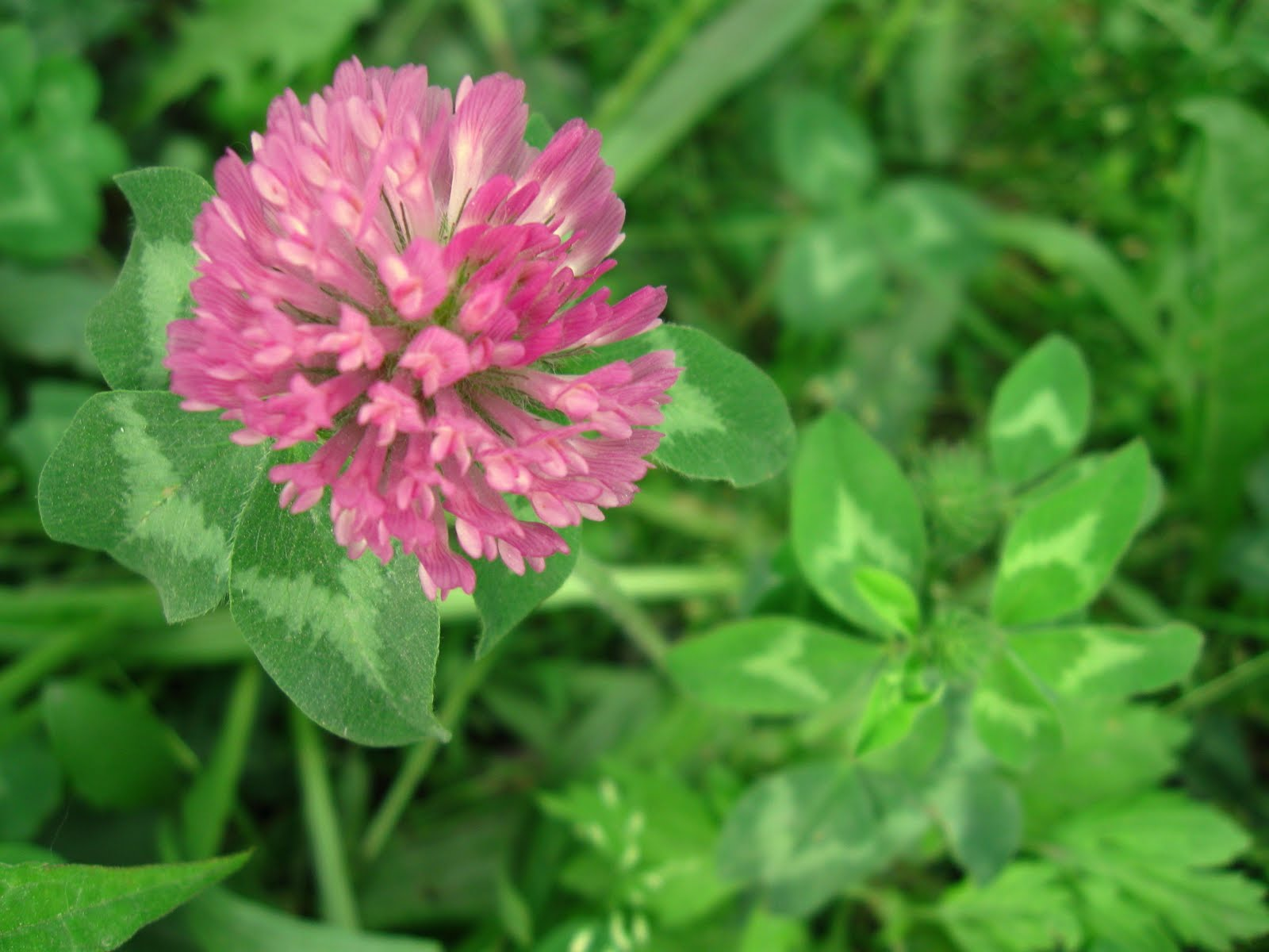 New York City Wildflowers: Red clover