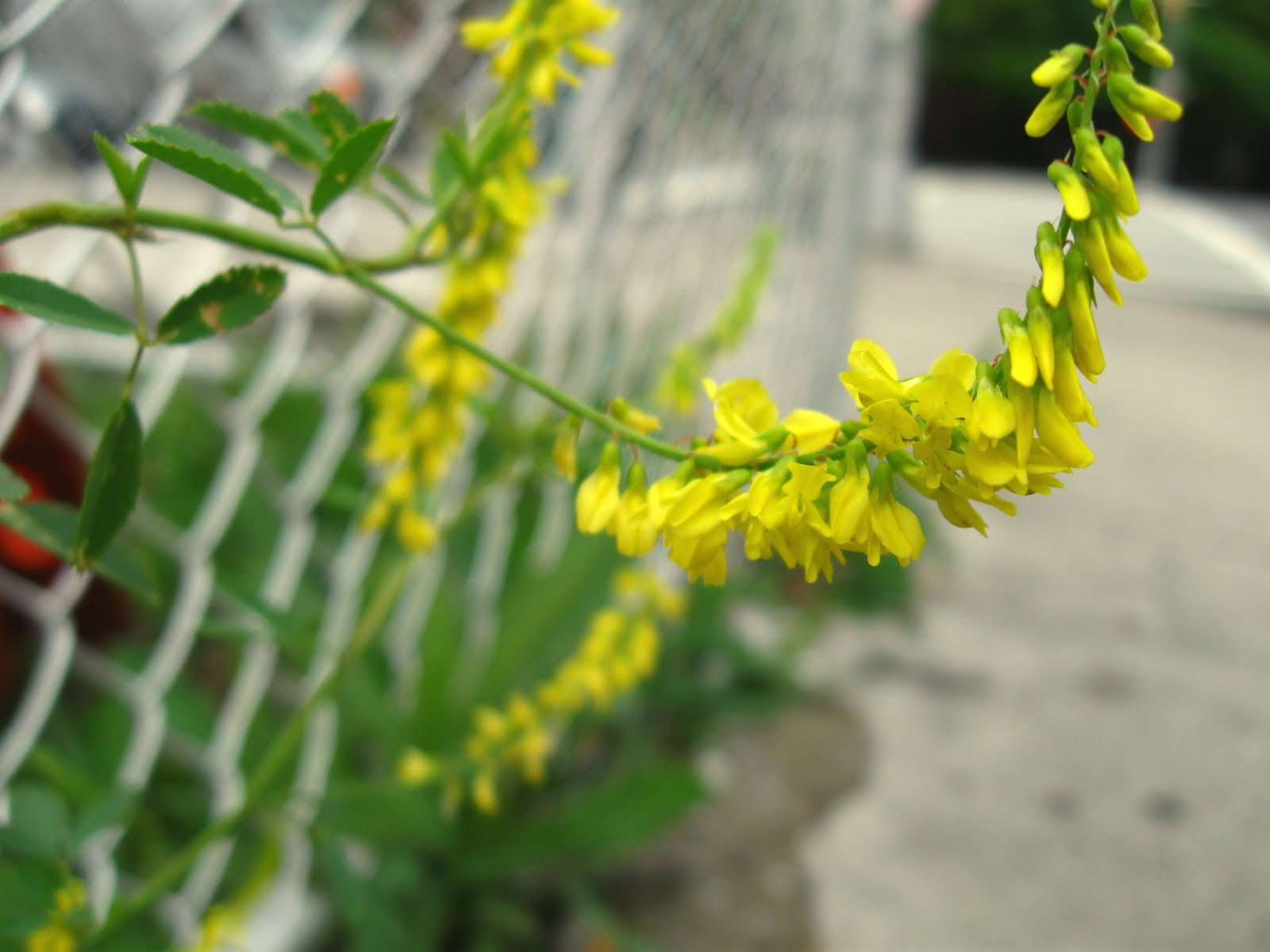 New York City Wildflowers Yellow Sweet Clover