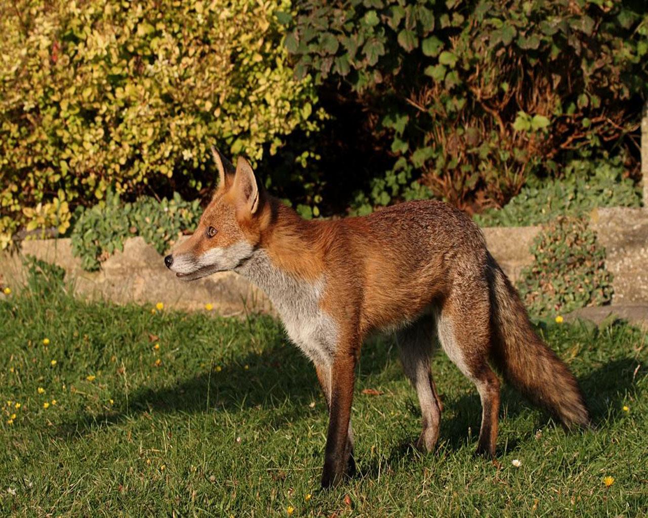 http://2.bp.blogspot.com/_sz2fJjO1XW8/THSzcapWTEI/AAAAAAAACEw/qFP9_QMGLrg/s1600/fox-animal-wallpapers-3-1280x1024.jpg