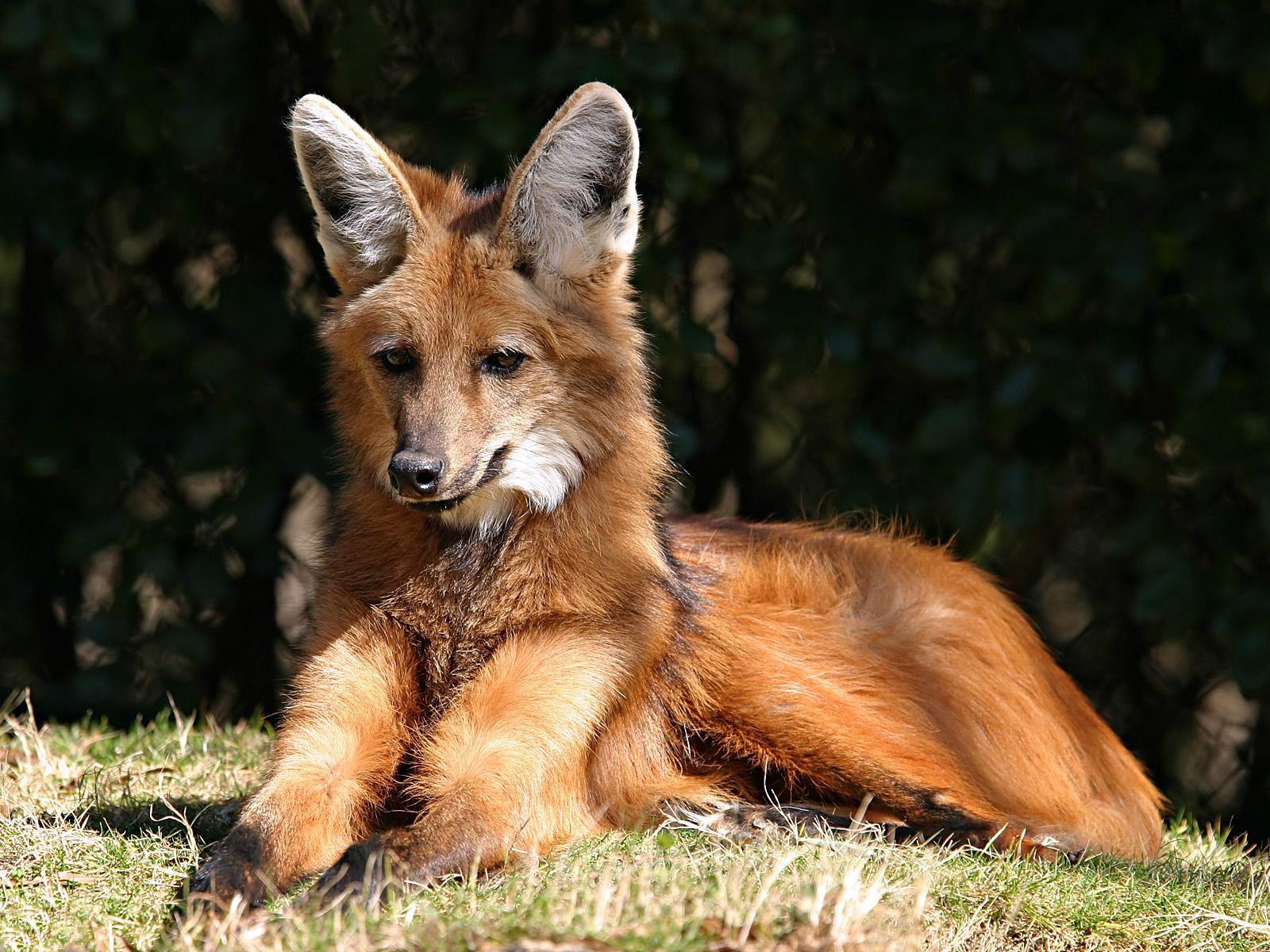http://2.bp.blogspot.com/_sz2fJjO1XW8/TIvERT234vI/AAAAAAAAE3o/kvtQexQyQKE/s1600/Red_fox_(Canada,_Alaska,_United_States,_Europe,_North_Africa,_Asia,_Japan,_Ireland,_UK).jpg